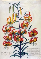 American Turk's cap Lily, Lilium superbum, Georg Dionysius Ehret (1708-70), About 1750-Watercolour and gouache on vellum V&A Museum no. D.589-1886